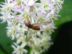 Schwebfliegen-Ankerplatz (Jörg Paul Kaspari) Tags: white flower garden insect juli blüte insekt garten trier blüten weise 2016 schwebfliege weis indische phytolacca kermesbeere phytolaccaacinosa acinosa gemeinschaftsgarten