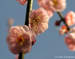 Wherever we look upon this earth, the opportunities.... (itucker, thanks for 2.7+ million views!) Tags: macro blossom bokeh nicholas apricot prunus raulstonarboretum prunusmume apricotblossom