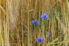 (Floramon) Tags: korn cereals flower blume blau blue hren