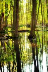 mirroring (Rainer Schund) Tags: green nature forest abend three spring nikon natur grn bume baum frhling mirroring nikond700 naturemasterclass natureexploring