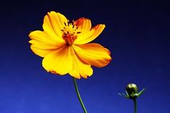 flrscoreopsis_0052crop (Joo Batista**) Tags: flower nature natureza flor