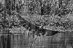 Filtered #3 (brev99) Tags: park blackandwhite bird grass pond ngc greatblueheron d7100 ononesoftware silverefex topazdenoise tamron70300vc highqualityanimals perfecteffects10
