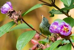 IMG_4668  Scarlet-backed Flowerpecker (ashahmtl) Tags: bird thailand songbird flowerpecker scarletbackedflowerpecker dicaeumcruentatum phangngaprovince greenviewresort kuraburei