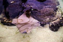 Skimming (rg69olds) Tags: 07092016 6d canonef24105mmf4lisusm canondigitalcamera nebraska canon canoneos6d henrydoorlyzoo omaha water stingray skimming stingraybeach fish animal