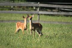 IMG_9207 (thinktank8326) Tags: nature wildlife deer spots fawn whitetaileddeer babyanimal
