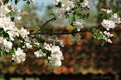 lentepracht (Don Pedro de Carrion de los Condes !) Tags: tree nature blossom boom appel lente bloesem bloemen veluwe boerderij donpedro voorjaar toerisme bloeien inbloei landleven ontspruiten vruchtboom bloesempracht