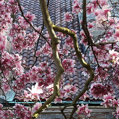 Magnolias Against the Tile Roof (marylea) Tags: pink flowers spring catholic michigan blossoms annarbor magnolia catholicchurch blooms magnolias stthomasaa stthomastheapostlecatholicchurch
