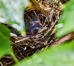 Sibs (Genevievery) Tags: baby cute bird nature birds nc spring nest cardinal birding beak fluffy tiny carolina aww wee chapelhill tweet