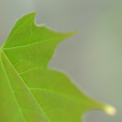 leaf (postbear) Tags: wood trees light hairy toronto blur detail tree green leaves hair square cycling leaf spring maple woods focus hairs fragment ointment robfordasshole destroycraigslist robfordisanasshole robfordandstephenharperaredisgustingbigots robfordisalyingsackofshit allconservativesarefilth likeallbulliesrobfordisachickenshitcoward robfordisafraidofeverything robfordisastupidbitch marywalshformayororprimeminister thenewmapfunctionisterrible robfordhasneonazisforfriends foundoutreadingisdifficult robfordisadisgustingfuckingthief thenewuploaderisalsoterrible helpourformermayorisastupidclown formermayorrobfordlikescottaging call911theformermayorsbeatinghiswifeagain richwhiteconservativesbuyjusticeyetagain robfordsexuallyassaultswomen