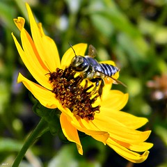 Leafcutter Bee & Beach Sunflower (bob in swamp) Tags: beach leaf florida bee sunflower cutter asteraceae leafcutter palmbeachcounty helianthus megachilidae megachile pollinator helianthusdebilis junodunesnaturalarea eastcoastdunesunflower taxonomy:binomial=helianthusdebilis dunestabilizer