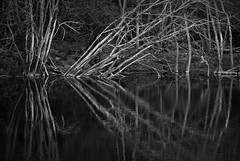 the effect of butterflies (Ray Byrne) Tags: trees blackandwhite bw reflection river monotone alnwick northumberland riverbank riveraln raybyrne byrneoutcouk webnorthcouk