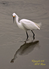 Snowy Egret Looking for Dinner Before Sunset at Mill Creek Marsh in Secaucus NJ (Meadowlands) (takegoro) Tags: creek marsh nature wildlife snowy meadowlands egret mill nj birds secaucus egret