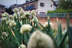 spring onion -  (turntable00000) Tags: flower field japan fence tokyo spring sony onion 365  leek nerima  nex    turntable00000