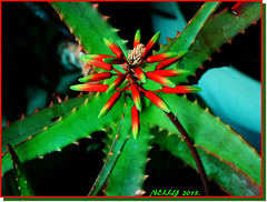 *CACTUS.... (MONKEY50) Tags: flowers red cactus plants plant flower color colour macro green art colors digital leaf spring colours paintshoppro soe natures autofocus beautifulphoto flickraward awesomeblossoms pentaxart mygearandme ringexcellence photographyforrecreation allnaturesparadise musictomyeyeslevel1 pentaxflickraward top25naturesbeauty vigilantphotographersunite