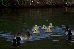Coming to investigate - parent Geese with goslings (Matt Burke) Tags: lake canal goose gosling canadiangoose westport