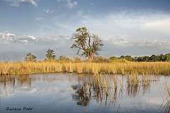 Moremi (Zsuzsa Por) Tags: africa reflection safari botswana moremi canoneos50d canonef2470mmf28 panoramafotogrfico thebestofmimamors reflectsobsessions