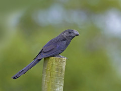 Anu-preto Smooth-billed Ani  (Crotophaga ani) (claudio.marcio2) Tags: bird nature wildlife natureza pssaro aves ani oiseaux crotophagaani anupreto smoothbilled