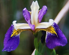 Iris 17 (sansa55) Tags: iris plant flower color nature garden florence spring flora perfume lily symbol blossom outdoor decorative may vivid petal lilac bloom botany ornamental