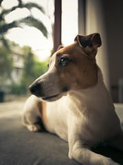 (nmastoras) Tags: dog pet pets cute dogs animal animals jack russell terrier jackrussell jackrussellterrier
