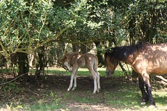 jewel of the forest (romorga) Tags: uk wild england sunlight canon woodland nationalpark woods mare south hampshire holly hidden southern shade newforest tranquil sanctuary dafe feral dun palomino foal 2013 naturethroughthelens romorga