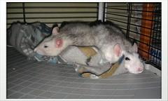 Two tired little rat girls (Scratchblack) Tags: girls sleeping pet cute animals rodent rat adorable tired resting rex husdjur djur tyrande alleria gnagare agoutiroan