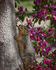 Squirrel on the way up (A Anderson Photography) Tags: oklahoma animal animals squirrel blossoms claws traveloklahoma oklahomatouristsites cruiserte66