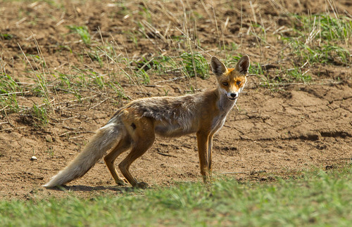 Red Fox - Steppe around Astana - Kazakistan_S4E0891