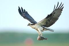 Osprey Fish Delivery (Mark Schwall) Tags: fish birds adult flight birdsinflight manualfocus raptors osprey birdsofprey forsythenwr edwinbforsythenwr