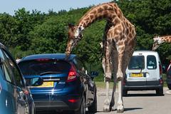 Likkende giraffe (Mart Mijmering) Tags: animal zoo giraffe dier safaripark beeksebergen dierentuin