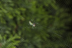Spider eating series 22 (Richard Ricciardi) Tags: spider eating web spinne araa  araigne ragno timeseries     gagamba    nhn  spidertimeseries