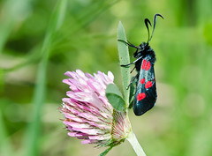 Narrow bordered Five-spot Burnet day flying moth (Linz27) Tags: moth burnet yorkshirewildlifetrust staveleynaturereserve