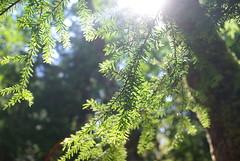 Fir at Lynn Canyon (Lee_Kelvin) Tags: tree vancouver pentax bokeh 28mm north canyon lynn fir f28 pentagon
