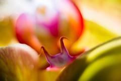 Phalaenopsis Orchid 8 (calonyr11) Tags: usa plant orchid flower macro water closeup ma droplets drops nikon phalaenopsis bloom droplet dslr botany waterdrops biology waterdroplets braintree macrophotography d600 nikond600 carolyngeason calonyr11 carolynanngeason carolynanncreative
