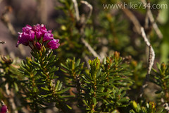 "Pink Mountain Heather • <a style=""font-size:0.8em;"" href=""http://www.flickr.com/photos/63501323@N07/9315591293/"" target=""_blank"">View on Flickr</a>"