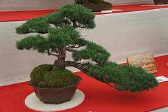 Bonsai display in the Floral Marquee (JRH70) Tags: flowers garden cheshire sony bonsai flowershow rhs royalhorticulturalsociety nex tattonpark 2013 sonynex5