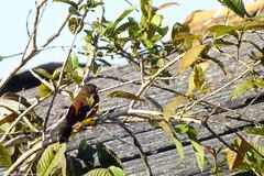 "Pássaros do Parque Estadual Acaraí • <a style=""font-size:0.8em;"" href=""http://www.flickr.com/photos/39546249@N07/9377025841/"" target=""_blank"">View on Flickr</a>"