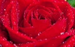 Rauð rós. (Oddný B) Tags: flowers red roses rautt blóm rósir