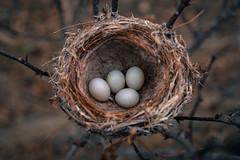(hexapetala) Tags: nest eggs standingcedarslandconservancy
