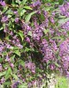 """Evergreen Wisteria • <a style=""""font-size:0.8em;"""" href=""""http://www.flickr.com/photos/101656099@N05/9733565335/"""" target=""""_blank"""">View on Flickr</a>"""