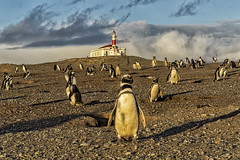 Penguins and Lighthouse Isla Magdalena (Daniel Schwabe) Tags: chile lighthouse sunrise penguin islamagdalena straitofmagellan magellanicpenguin