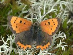Small Copper,  Lycaena phlaeas, Thetford Warren Lodge, Breckland, Norfolk   DSC_0488 (Cladoniophile) Tags: