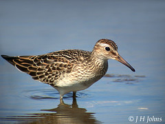 "Pectoral Sandpiper, Hayle, Sept 2005 (J H Johns) • <a style=""font-size:0.8em;"" href=""https://www.flickr.com/photos/30837261@N07/10723815003/"" target=""_blank"">View on Flickr</a>"