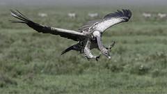 Vulture in Tanzania (Raymond J Barlow) Tags: africa travel nature tanzania wildlife workshop vulture birdinflight raymondbarlowphototours