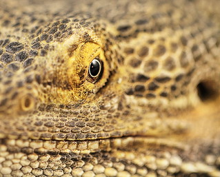 The eye of a Bearded Dragon