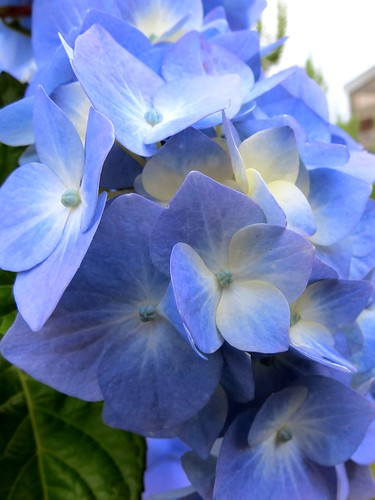 Summer is here!  Hydrangeas in full bloom
