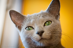 verde e amarelo (tintas) Tags: blue verde green azul cat eyes russia olhos gato da anita russian russo tintas