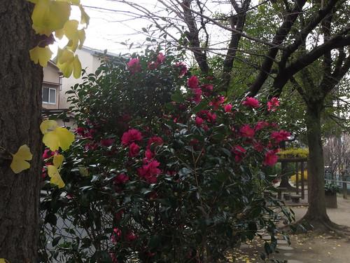 山茶花とイチョウの木