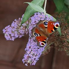 peacock butterfly (Leo Reynolds) Tags: animal fauna canon butterfly insect eos 7d f80 iso500 0008sec hpexif 92mm leol30random xleol30x xxx2013xxx