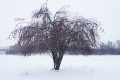 Tree of Knowledge (mariola aga - ON/OFF) Tags: park winter red snow tree nature fruit symbol knowledge comparison thegalaxy