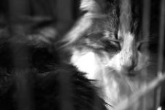 _MG_7532+ (Valentina Ceccatelli) Tags: mostra cats pets white black cat canon eos kitten feline gare january competition exhibition tuscany 7d felini gatto prato gatti gennaio valentina micio gara mici 2014 cuccioli gattini palazzetto maliseti ceccatelli valentinaceccatelli estraforum